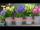 Гиацинты, нарциссы, гиппеаструм, амариллис- выгонка цветоносов луковичных. Зимнее хранение
