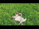 Горностай задрал зайца - очень жестокое видео