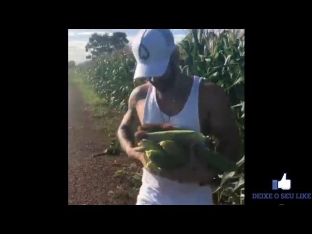 Gusttavo Lima rouba milho na beira da estrada