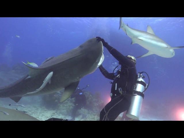 Танцы с тигровой акулой ViralHog