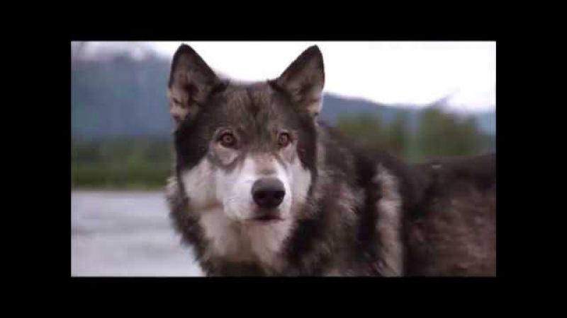 Клип про волка Белый клык