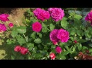 Роза TANTAU Германия