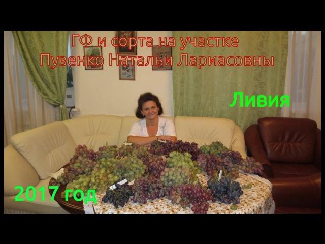ЛИВИЯ- очень ранний сорт винограда, с высоким сахаром и мускатом (Пузенко Наталья Лариасовна).