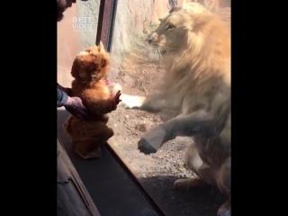 Я маленький лев