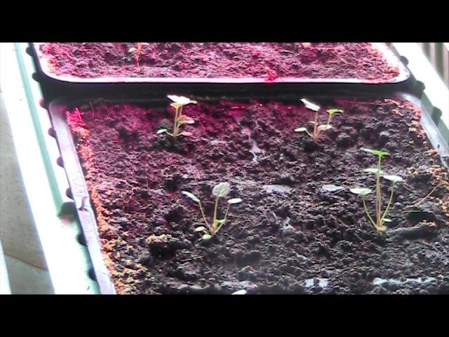 Обзор посевов рассады земляники садовой крупноплодной. Февраль 2017 г Секреты хороших урожаев.