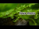 Java moss (Taxiphyllum barbieri) In Tropical Freshwater Aquarium
