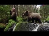 Животный мир. Леса гор. Медвежья пара. Шанс на жизнь. Сила вида. Домашний уют. Своё...