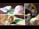 Смотреть самые смешные поющие попугаи! видео 2017 2 видео приколы