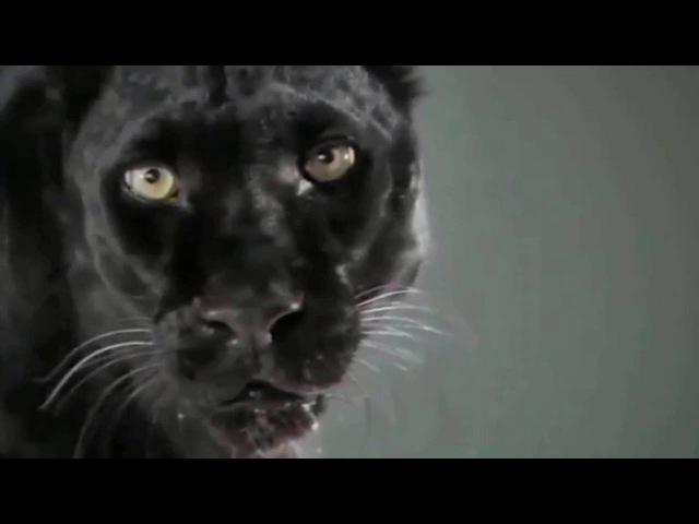Черная пантера! Самая красивая дикая кошка. Black Panther HD