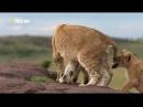 Дикая природа Игры львов Документальный фильм