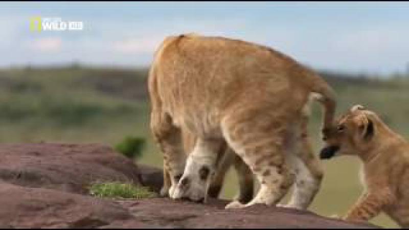 Дикая природа. Игры львов. Документальный фильм