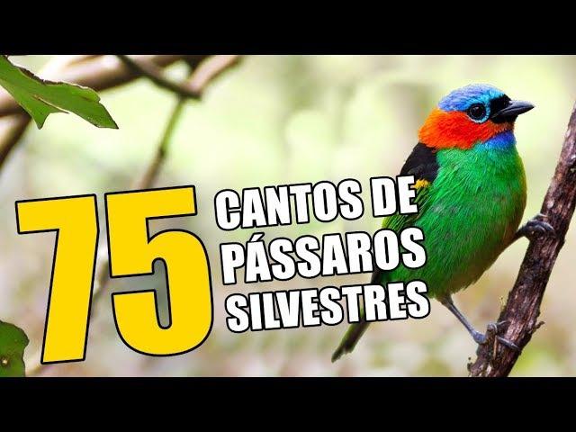 75 CANTOS DE PÁSSAROS SILVESTRES ♫