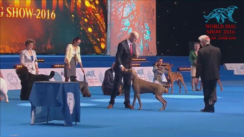 World Dog Show 2016 Weimaraner NASH in Best In Show