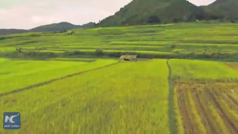 «Императорский» рис на юго-западе Китая