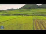 Императорский рис на юго-западе Китая