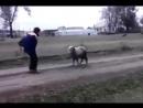 Деревенская коррида.