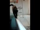 Багира пытается попить