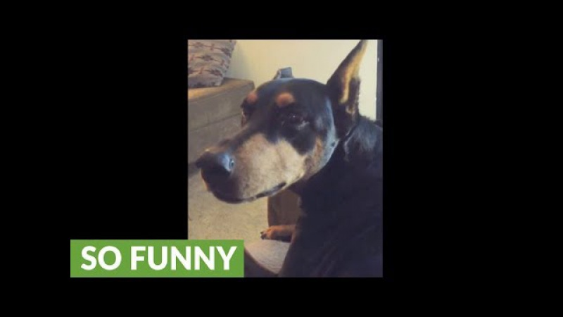 Spoiled doberman cries when owner stops petting him