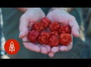 Breeding the World's Hottest Pepper