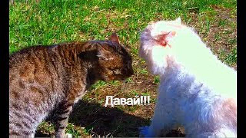 Схватка двух котов. Русский перевод. Осторожно мат.