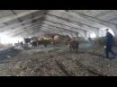 На ферме содержем Крупно рогатый скот мясных пород