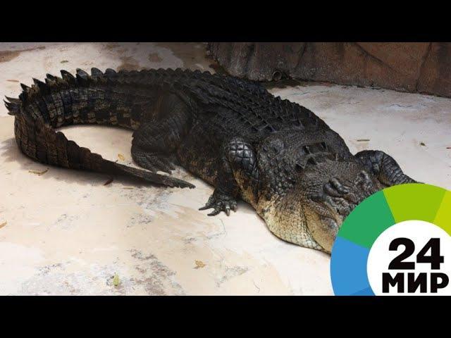 Сафари по-питерски: упитанный крокодил «охранял» в доме боеприпасы - МИР 24