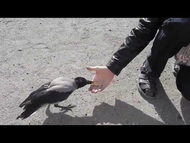 Удивительная встреча с очень умной ручной вороной