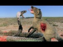 Animals Big fight King Cobra vs Mongoose to Death ▌ Chồn vs Hổ mang chúa