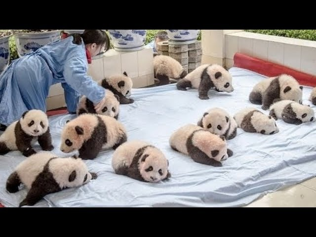 Baby Pandas 🔴 Cute and Funny Baby Panda Videos Compilation 2018 Animal Planet Videos