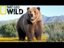 Эволюция Медведя От доисторического хищника до наших дней National Geographic