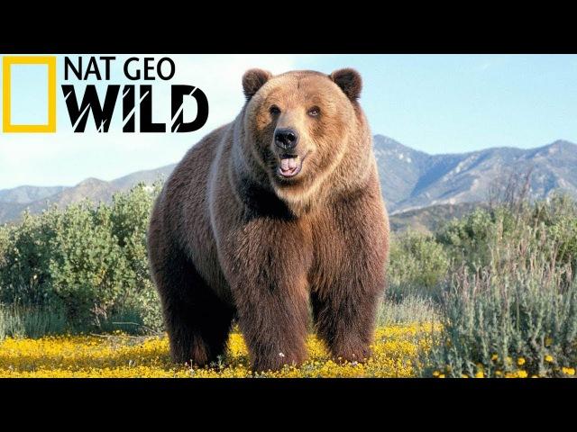Супер фильм - National Geographic - Эволюция Медведя - От доисторического хищника до наших дней