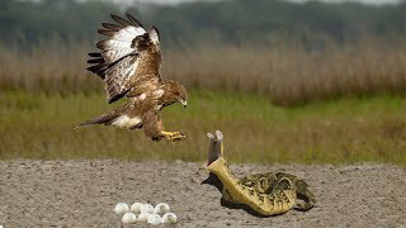 Snake Eat Bird Eggs | Mother Bird Defends Her Eggs From Snake Hunting But Fail