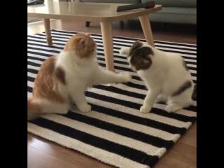 Ленивая драка двух котов видео