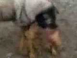 kangal vs pitbull 20 dk