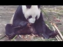 Панды в нац. парке BiFengXia №1