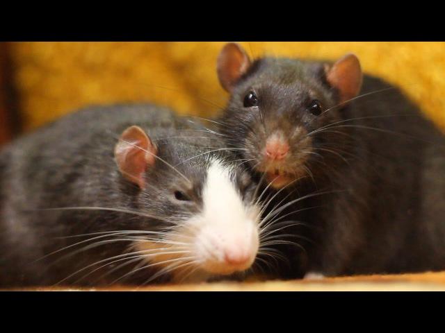 Крысы BSOD!
