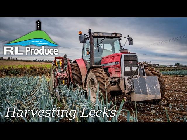 Harvesting Leeks - RL Produce