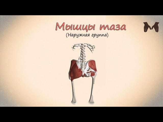 Мышцы пояса нижней конечности (мышцы таза: наружная группа) - детальный обзор 3д