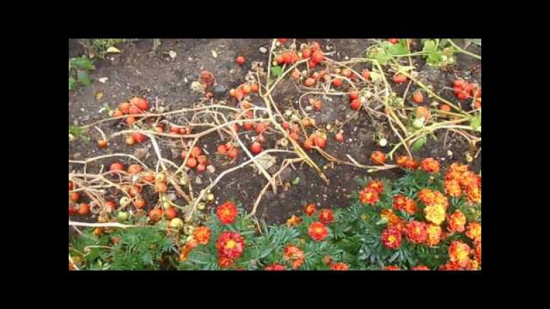 Как повысить урожай помидор в два раза