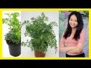Beneficios De La Ruda Para Bajar De Peso La planta de ruda para adelgazar