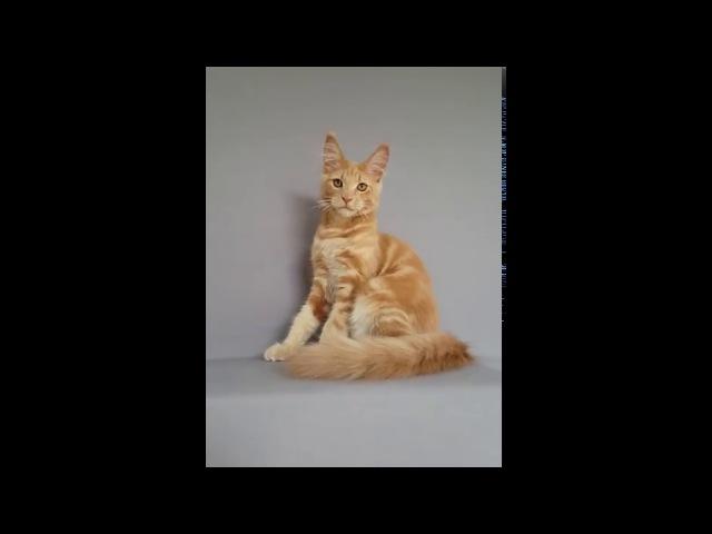 Булат (Divokun Bulat) котик мейн-кун окраса кремовый солид ( 4 месяца)