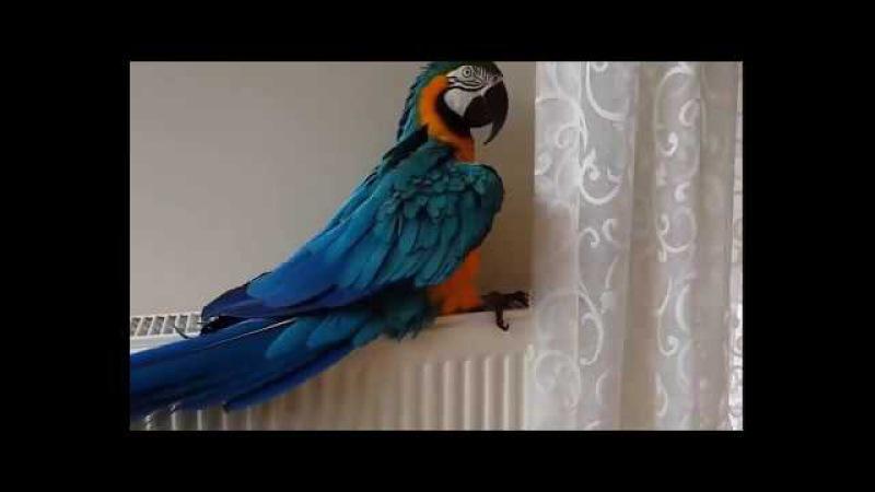 Sahibine kafa tutan Aşırı Akıllı Papağan