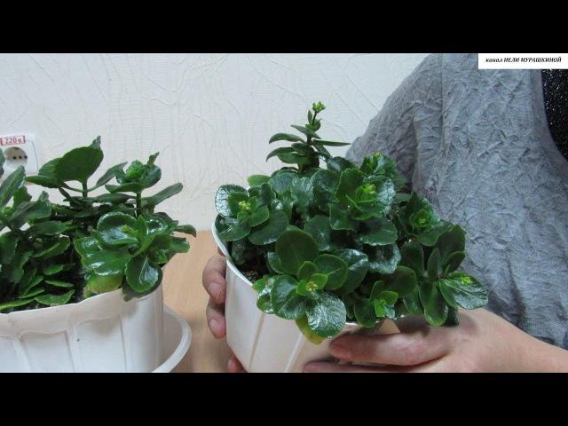 КАЛАНХОЭ Как добиться обильного повторного цветения