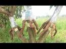 Cangkok susu /susun akar grafting tree