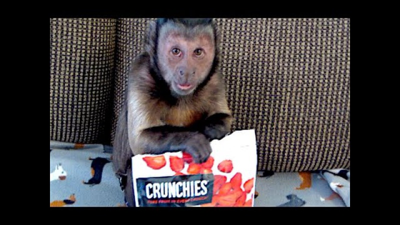 Capuchin Monkey LOVES Freeze Dried Strawberries