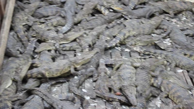Камбоджийские крокодильчики)