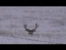 Mule deer buck with droptine shedding antlers on film! a must see