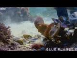Осьминог защитился от акулы щитом из ракушки