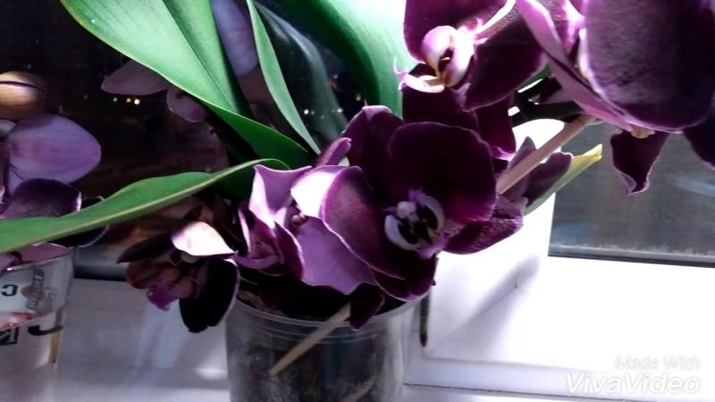Моя орхидея Дебора 🌸