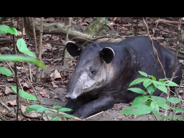 Центральноамериканский тапир Baird's Tapir Tapirus bairdii